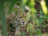 Jaguar (Panthera Onca) Slinking Through Vegetation  Belize Zoo  Belize