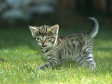 Domestic Cat (Felis Catus) Kitten Calling  Germany
