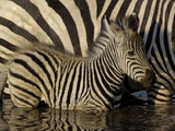 Burchell's Zebra (Equus Burchellii) Foal Standing Beside Mother in Waterhole  Africa