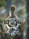 Northern Hawk Owl (Surnia Ulula) at Nest with Chicks  Alaska