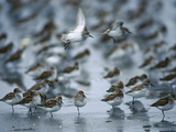 Western Sandpiper (Calidris Mauri) Flock Resting and Feeding   Copper River Delta  Alaska