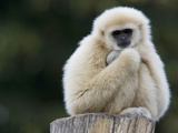 Portrait of a Lar Gibbon  Hylobates Lar