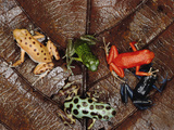 Strawberry Poison Dart Frog (Dendrobates Pumilio) Group Showing Color Variations A701