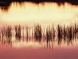 Silhouette of Grass Against Reflection of Sunset in Waterhole  Okavango Delta  Botswana