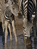 Burchell's Zebra (Equus Burchellii) Mother and Foal at Waterhole  Africa