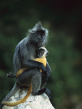 Crested Langur (Semnopithecus Cristatus) Female and Her Baby on a Rock