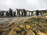 Molting King Penguins Stand in an Antarctic Stream