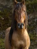 Wild Horse (Equus Caballus) in Open Grassland  Andes Mountains  Ecuador