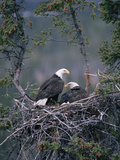 Bald Eagle (Haliaeetus Leucocephalus) Pair on Nest  Alaska