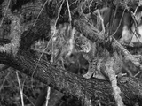 A Bobcat Takes Refuge in a Tree