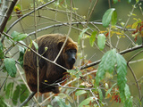 Brown Howler Monkey (Alouatta Fusca) Adult in Rainforest Tree  Brazil