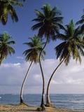 Coconut Palm (Cocos Nucifera) Trees and Beach  Dominican Republic