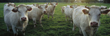 Domestic Cattle (Bos Taurus) Charolais Herd in Pasture  Picardie  France