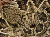 Eastern Diamondback Rattlesnake (Crotalus Adamanteus) Top-View