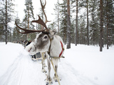 A Reindeer Sled Ride