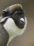 Lesser White-Nosed Monkey or Lesser Spot-Nosed Guenon (Cercopithecus Petaurista)
