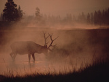 Elk or Wapiti (Cervus Elaphus) Feeding at Streamside with Smoke  Yellowstone  Wyoming