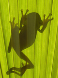Chachi Tree Frog (Hyla Picturata) Silhouette  Choco Rainforest  Ecuador