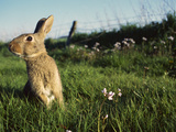 European Rabbit (Oryctolagus Cuniculus) in a Meadow  France