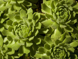 Hen and Chicks  Houseleek or Liveforever  Sepervivum Species  a Succulent