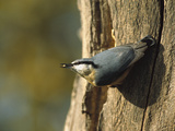 European or Wood Nuthatch (Sitta Europaea) on Tree Trunk  Europe