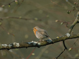 European Robin (Erithacus Rubecula) Singing  Germany