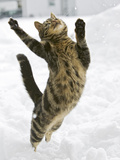 Domestic Cat (Felis Catus) Male Leaping in Snow  Germany