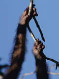 Orangutan (Pongo Pygmaeus) Hand and Foot Holding on to Branch  Borneo