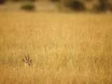 Thomson's Gazelle (Gazella Thomsoni) Hiding in Tall Grass  Masai Mara National Reserve  Kenya