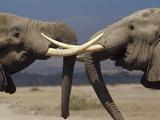 African Elephant (Loxodonta Africana) Bulls Engaged in Greeting Ritual  Amboseli  Kenya