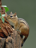Eastern Chipmunk (Tamias Striatus) on Tree Stump  North America