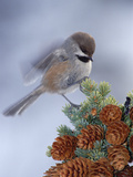 Boreal Chickadee (Parus Cinctus) Perching on a Tree  Alaska