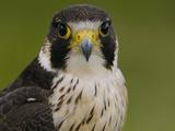 Peregrine Falcon (Falco Peregrinus)  Ecuador