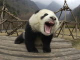 Giant Panda (Ailuropoda Melanoleuca) Vocalizing and Playing on Structure