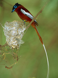 Madagascar Paradise Flycatcher (Terpsiphone Mutata) Tagged Red Male at Nest