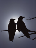 Raven (Corvus Corax) Pair Perching on a Branch  Backlit by Filtered Sunlight