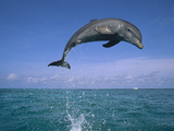 Bottlenose Dolphin (Tursiops Truncatus) Leaping Out of Water  Caribbean