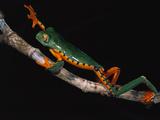 Splendid Leaf Frog (Agalychnis Calcarifer) Climbing on Plant Stem  Ecuador