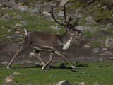 A Reindeer Walking on South Georgia