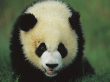 Giant Panda (Ailuropoda Melanoleuca) Endangered  of a One Year Old Cub