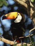 Toco Toucan (Ramphastos Toco) Perching on a Branch  Pantanal  Brazil