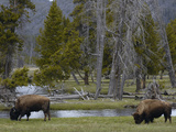 American Bison (Bison Bison) Pair Grazing  Yellowstone National Park  Wyoming