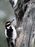 Hairy Woodpecker (Picoides Villosus) with White Bark Pine Nut in Beak  North America