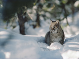Bobcat (Lynx Rufus) Adult Resting in Snow in the Winter  Idaho
