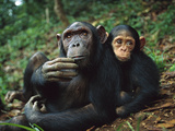 Chimpanzee (Pan Troglodytes) Adult Female with Orphan Baby She Has Adopted  Gabon