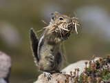 Golden-Mantled Ground Squirrel (Spermophilus Lateralis) with Nesting Material  Mount Rainier
