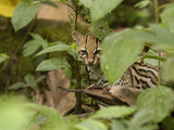 Ocelot (Felis Pardalis) Peeking Through Leaves in the Amazon Rainforest  Ecuador