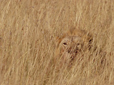 Lion (Panthera Leo) Young Male Camouflaged in Tall Grass  Masai Mara National Reserve  Kenya