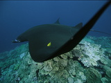 A Manta Ray and Golden Trevally Swimming over a Hard Coral Reef
