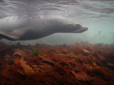A Fur Seal Swims over a Bed of Kelp
